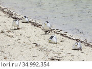 Great crested tern, (Thalasseus bergii), Praslin, Seychelles.Photo... Стоковое фото, фотограф Andre Maslennikov / age Fotostock / Фотобанк Лори