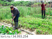 Hired worker digs weed plants on farm field. Стоковое фото, фотограф Яков Филимонов / Фотобанк Лори
