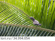 Noddy tern. Seychelles. Стоковое фото, фотограф Andre Maslennikov / age Fotostock / Фотобанк Лори