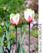 Цветы тюльпанов на высоких стеблях после дождя. Стоковое фото, фотограф Олег Елагин / Фотобанк Лори
