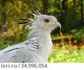 Secretary bird (Sagittarius serpentarius) portrait. Стоковое фото, фотограф Валерия Попова / Фотобанк Лори