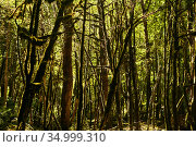Dead boxwood forest due to box tree moth infestation in Caucasus, Russia. Стоковое фото, фотограф Евгений Харитонов / Фотобанк Лори
