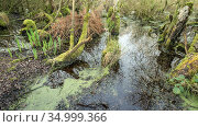 Swamp Woodland in the Avalon Marshes, a large area of wetland habitats, part of the Somerset Levels near Glastonbury, Somerset, UK. Extensive peat diggings... Стоковое фото, фотограф John Waters / Nature Picture Library / Фотобанк Лори