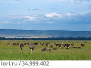 Ostrich (Struthio camelus) flock of juveniles on grass plains. Masai Mara National Reserve, Kenya. Стоковое фото, фотограф Anup Shah / Nature Picture Library / Фотобанк Лори