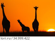 Masai giraffes (Giraffa camelopardalis tippelskirchi) three silhouetted at sunrise . Masai Mara National Reserve, Kenya. Стоковое фото, фотограф Anup Shah / Nature Picture Library / Фотобанк Лори