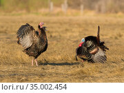 Wild turkeys (Meleagris gallopavo) female flapping wings while male performs strutting courtship display, Ipswich, Massachusetts, USA, April. Стоковое фото, фотограф Marie Read / Nature Picture Library / Фотобанк Лори