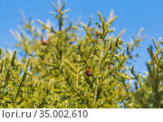 Natural evergreen branches with cones of Christmas tree in pine forest on background blue sky. Fir branches ready for decoration for Xmas, Happy New Year. Стоковое фото, фотограф А. А. Пирагис / Фотобанк Лори