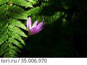 Autumn crocus flower illuminated by a sunbeam in a shady undergrowth among the ferns. Стоковое фото, фотограф Евгений Харитонов / Фотобанк Лори