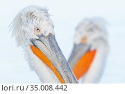 RF - Dalmatian pelican (Pelecanus crispus) Lake Kerkini, Greece, portrait, in breeding plumage, (This image may be licensed either as rights managed or royalty free.) Стоковое фото, фотограф Edwin Giesbers / Nature Picture Library / Фотобанк Лори