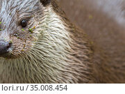 RF - European otter (Lutra lutra) portrait, Germany, captive. (This... Стоковое фото, фотограф Edwin Giesbers / Nature Picture Library / Фотобанк Лори
