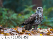 Common buzzard (Buteo buteo) on ground among leaves in woodland, The Netherlands. November. Стоковое фото, фотограф Edwin Giesbers / Nature Picture Library / Фотобанк Лори