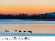 Dalmatian pelican (Pelecanus crispus) group silhouetted on lake, Lake Kerkini, Greece, March. Стоковое фото, фотограф Edwin Giesbers / Nature Picture Library / Фотобанк Лори