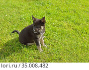 Dog Lapponian herder (Lapinporokoira or Lapp Reindeer dog or Lapsk Vallhund). Little puppy on green grass. Стоковое фото, фотограф Валерия Попова / Фотобанк Лори