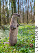 European otter (Lutra lutra) standing angle view, captive, Germany. Стоковое фото, фотограф Edwin Giesbers / Nature Picture Library / Фотобанк Лори