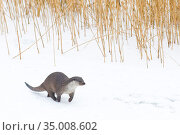 European Otter (Lutra lutra) running in snow, Germany, captive. Стоковое фото, фотограф Edwin Giesbers / Nature Picture Library / Фотобанк Лори