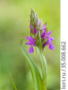 Occitane orchid (Dactylorhiza occitanica) Ampus, Var, France, May. Стоковое фото, фотограф Lorraine Bennery / Nature Picture Library / Фотобанк Лори
