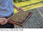 Сота с пчелами. Стоковое фото, фотограф Антонина / Фотобанк Лори