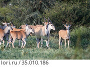 Females and calves of African antelopes and birds in the Bush (2008 год). Стоковое фото, фотограф Олег Елагин / Фотобанк Лори