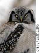 Northern Hawk Owl  (Surnia ulula), Kamchatka, Russia, Ястребиная сова, Камчатка, Россия. Стоковое фото, фотограф Олег Елагин / Фотобанк Лори