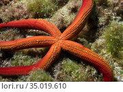 Purple Starfish, Ophidiaster ophidianus, Cabo Cope-Puntas del Calnegre... Стоковое фото, фотограф Alberto Carrera Anaya / easy Fotostock / Фотобанк Лори