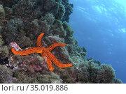Red starfish, Echinaster sepositus, Cabo Cope-Puntas del Calnegre... Стоковое фото, фотограф Alberto Carrera Anaya / easy Fotostock / Фотобанк Лори