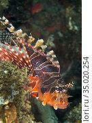 Zebra Lionfish, Dendrochirus zebra, Lembeh, North Sulawesi, Indonesia... Стоковое фото, фотограф Alberto Carrera Anaya / easy Fotostock / Фотобанк Лори