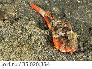 Waspfish, Richardsonâ.s Waspfish, Richardsonichthys leucogaster, Lembeh... Стоковое фото, фотограф Alberto Carrera Anaya / easy Fotostock / Фотобанк Лори