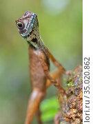 Brown-patched Kangaroo lizard, Wiegmann's Agama, SriLankan Kangaroo... Стоковое фото, фотограф Alberto Carrera Anaya / easy Fotostock / Фотобанк Лори
