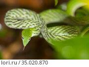 Green Vine Snake, Long-nosed Whip Snake, Ahaetulla nasuta, Sinharaja... Стоковое фото, фотограф Alberto Carrera Anaya / easy Fotostock / Фотобанк Лори