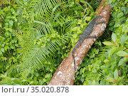Water Monitor, Varanus salvator, Sinharaja National Park Rain Forest... Стоковое фото, фотограф Alberto Carrera Anaya / easy Fotostock / Фотобанк Лори