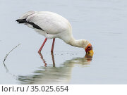 Yellow-billed Stork (Mycteria ibis), adult looking for food in the... Стоковое фото, фотограф Saverio Gatto / age Fotostock / Фотобанк Лори