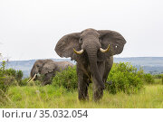 Elephant (Loxodonta africana) gather in the rainy season to graze... Стоковое фото, фотограф Morales / age Fotostock / Фотобанк Лори