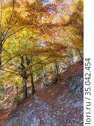European Beeches (Fagus sylvatica), trees in autumn, Campania, Italy. Стоковое фото, фотограф Saverio Gatto / age Fotostock / Фотобанк Лори