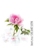 blooming pink tree peony flower on white background. Стоковое фото, фотограф Peredniankina / Фотобанк Лори
