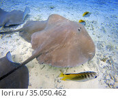 Sting rays in the shallow waters of the Bora Bora lagoon, Moorea, ... Стоковое фото, фотограф Sergi Reboredo / age Fotostock / Фотобанк Лори