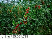 Red grape tomatoes ripening in clusters in glasshouse. Стоковое фото, фотограф Яков Филимонов / Фотобанк Лори
