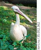 Розовый пеликан (Pelecanus onocrotalus) Стоковое фото, фотограф Владимир Макеев / Фотобанк Лори
