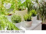 green flowers and houseplants at home. Стоковое фото, фотограф Syda Productions / Фотобанк Лори