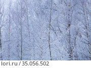 Snow-covered trees on a cloudy day. Birch Grove. Стоковое фото, фотограф Елена Блохина / Фотобанк Лори