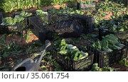 Ripe mangold in boxes on a farm field. Harvesting. Стоковое видео, видеограф Яков Филимонов / Фотобанк Лори