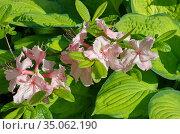 Цветущий рододендрон японский (лат. Rhododendron japonicum) на фоне листьев хосты. Стоковое фото, фотограф Елена Коромыслова / Фотобанк Лори