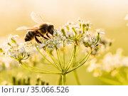 Пчела собирает нектар на белом цветке. Стоковое фото, фотограф Игорь Низов / Фотобанк Лори
