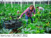 positive adult people collecting marrows in their plantation. Стоковое фото, фотограф Яков Филимонов / Фотобанк Лори