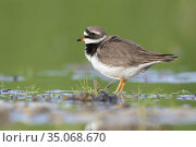 Ringed Plover (Charadrius hiaticula), side view of an adult standing... Стоковое фото, фотограф Saverio Gatto / age Fotostock / Фотобанк Лори