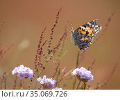Painted lady butterfly (Vanessa cardui) in flight over coastal wildflowers... Стоковое фото, фотограф Pal Hermansen / Nature Picture Library / Фотобанк Лори