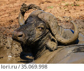 African buffalo (Syncerus caffer) male, wallowing in mud, Kruger National Park, South Africa. Стоковое фото, фотограф Tony Heald / Nature Picture Library / Фотобанк Лори