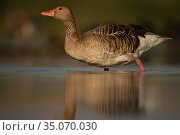 Greylag goose, (Anser anser) Pusztaszer protected landscape, Kiskunsagi, Hungary, May. Стоковое фото, фотограф Staffan Widstrand / Nature Picture Library / Фотобанк Лори