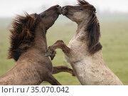 Wild-living Konik horses, (Equus caballus), fighting, Oostvaardersplassen Nature Reserve, The Netherlands, April. Стоковое фото, фотограф Staffan Widstrand / Nature Picture Library / Фотобанк Лори
