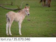 Wild-living Konik horses, (Equus caballus) foal, Oostvaardersplassen Nature Reserve, The Netherlands, April. Стоковое фото, фотограф Staffan Widstrand / Nature Picture Library / Фотобанк Лори