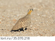Crowned sandgrouse (Pterocles coronatus), male, Mudday, Oman, january. Стоковое фото, фотограф Hanne & Jens Eriksen / Nature Picture Library / Фотобанк Лори